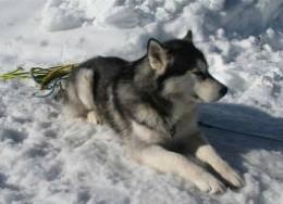 Large Dog Breeds - Siberian Husky