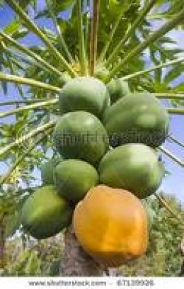 Unripe Paw-Paw Fruit