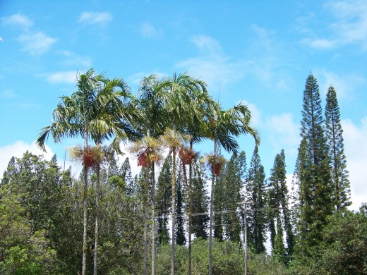 Driving by and saw these palm clusters. I love palms!