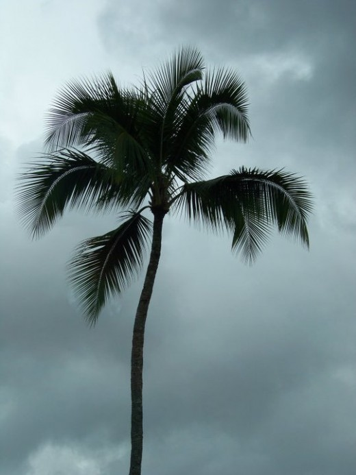Palm on a cloudy day.