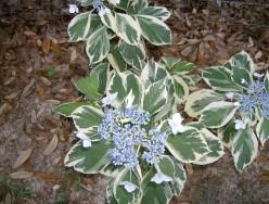 The Best Hydrangeas for Gulf Coast Gardens