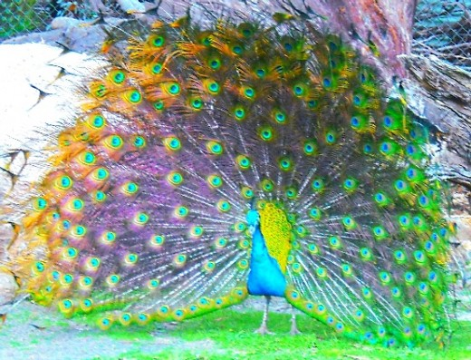 A peacock doing his display at our local zoo. However, this unfortunate individual seemed to be confused - he was doing his display for a guinea fowl (not pictured), a completely different species