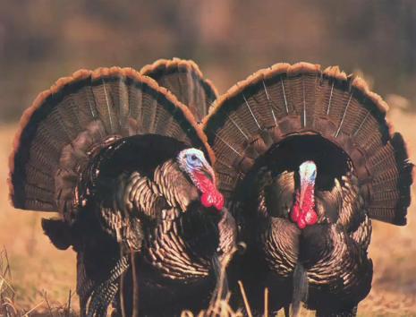 Turkey Birds