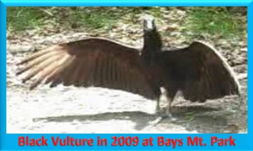 Black Vulture spreading its wings