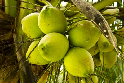 Coconut Offer Many Benefits