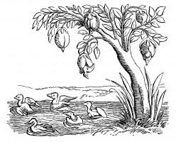 Barnacle Goose Barnacle