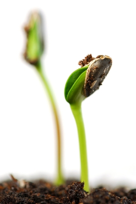 With adequate light and water, the seeds you sow will germinate indoors.