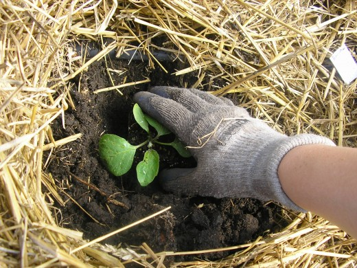 Transplant seedlings into your vegetable patch. Straw or garden covers will help protect tender young plants from wildlife as well as harsh weather.