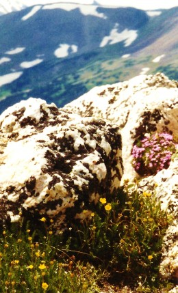 Alpine flowers blooming amidst rocks