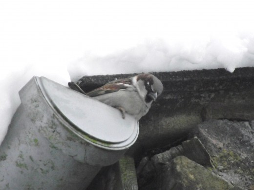MALE Sparrows build under the slates on the roof of houses. They  also take advantage of the warmth they afford in winter.