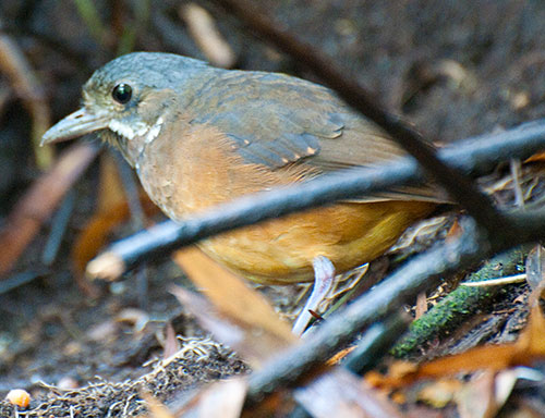 Mustached Antpitta (Grallaria alleni) considered vulnerable