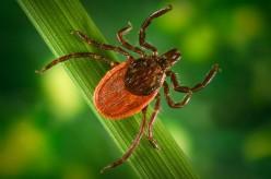 Tick that carries Lyme Disease
