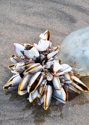 Goose Barnacles attached to a floating bottle