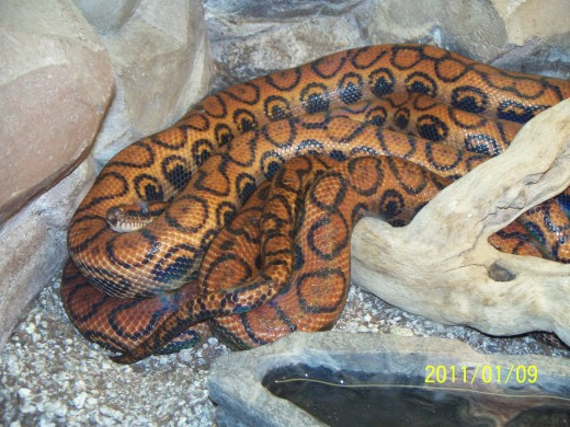 Not sure what Snake this is but it's enough to send shivers down my spine..  Taken at the Wild Life Zoo In AZ