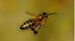 An Italian Honey Bee