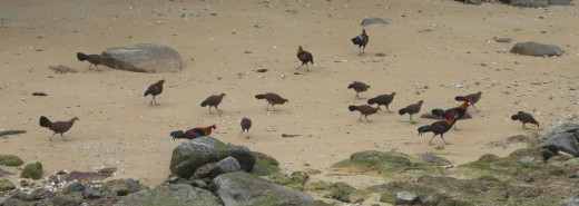 A flock of Red Jungle Fowl foraging at the beach.