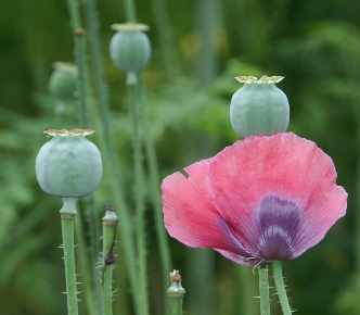 planting poppies
