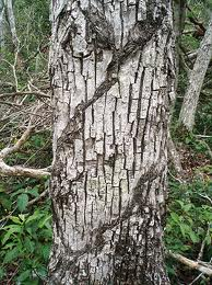 Chicozapote Tree With Cuts To Let The Sap Flow