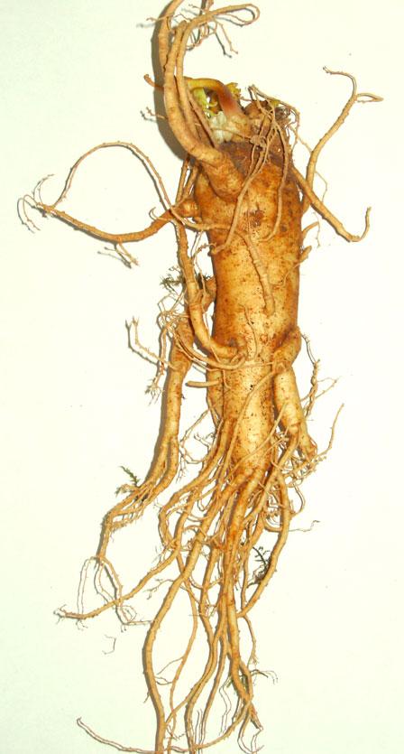 panax gensing root