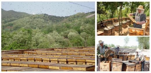 Large scale commercial apiary (left). Apiary in an orchard, with hive boxes under the shade of trees (top). Beekeepers open out hive boxes to inspect honey bees (bottom).