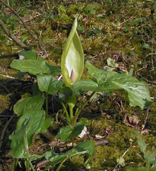 The spathe and spadix can clearly be seen. It is easy to see why the spathe gives rise to the country title of Friars cowl.