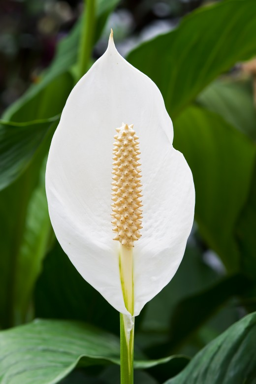 THE BEAUTIFUL PEACE LILY IS A POPULAR PLANT.