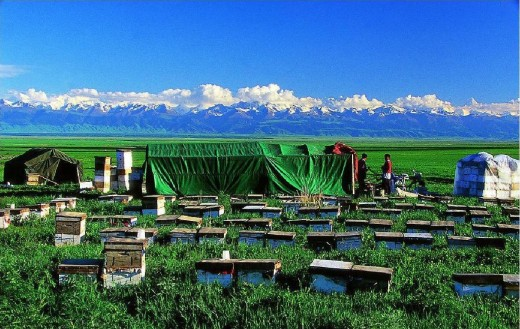 Mobile beekeepers in the grassland, with their movable tents and hive boxes. They move  around the country, to where ever flowering is in season.