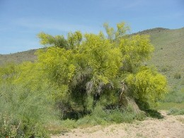 Blue Palo Verde Arizona State Tree