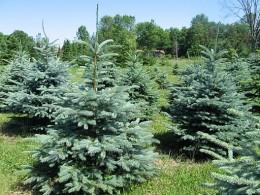 Blue Spruce Colorado State Tree
