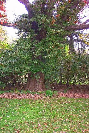 White Oak Connecticut State Tree