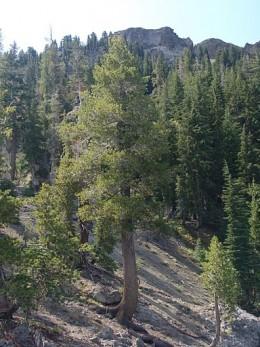 Western White Pine Idaho State Tree