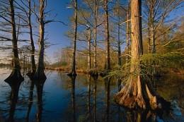 Bald Cypress Louisiana State Tree