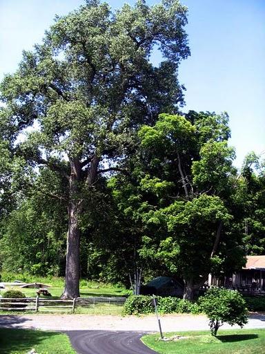 Eastern Cottonwood Nebraska State Tree