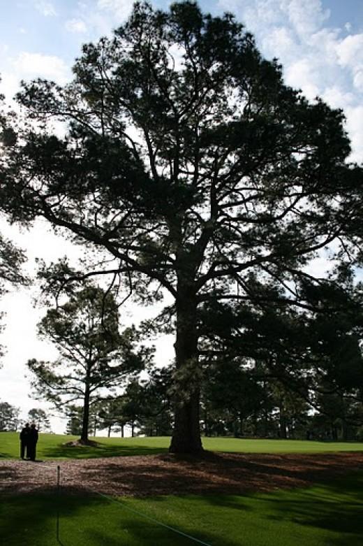 Longleaf Pine North Carolina State Tree