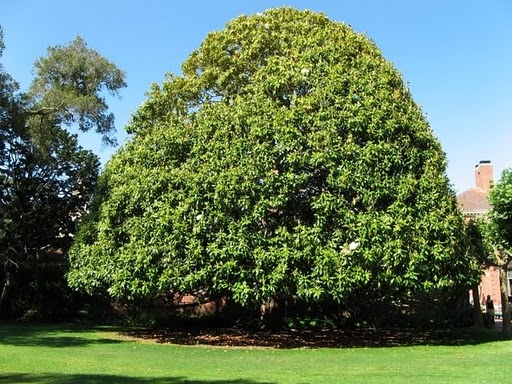 Southern Magnolia Mississippi State Tree