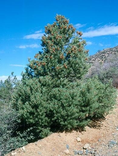 Single-Leaf Pinyon Nevada State Tree