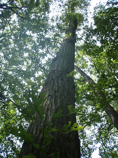 Northern Red Oak New Jersey State State