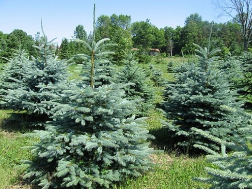 Blue Spruce Utah State Tree