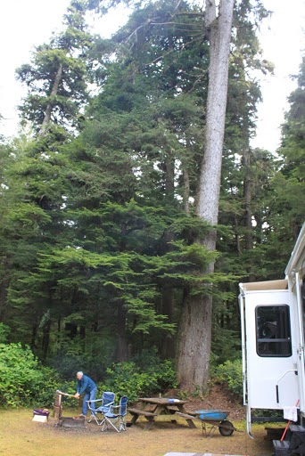 Western Hemlock Washington State Tree