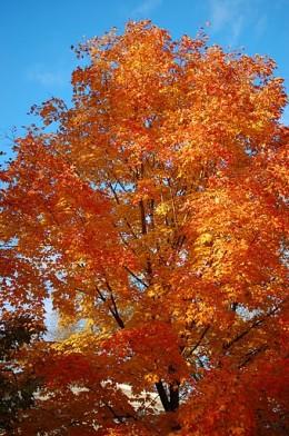 Sugar Maple West Virginia State Tree