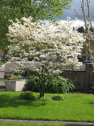 Flowering Dogwood Virginia State Tree