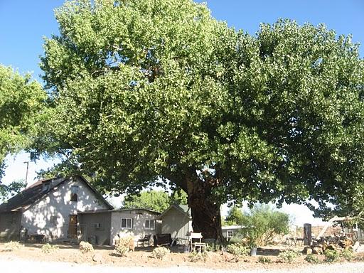 Plains Cottonwood Wyoming State Tree