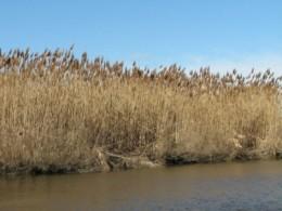 Tidal marsh grasses