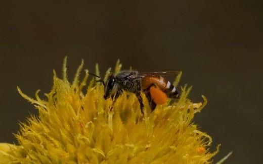 Dwarf Honey Bee (Apis florea)