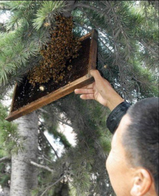 Beekeeper removing a swarm of honey bees from a tree in a school yard.