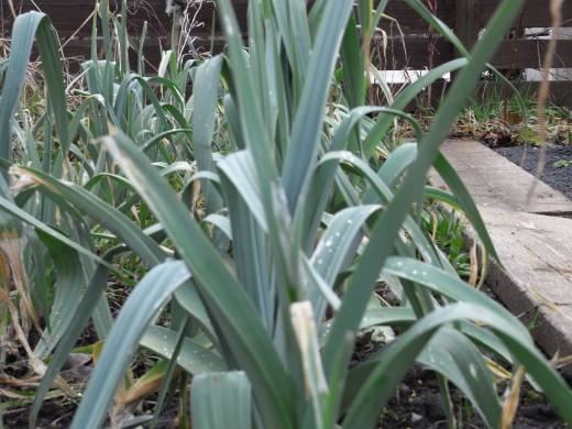 Leeks planted in September starting to come on strong in February