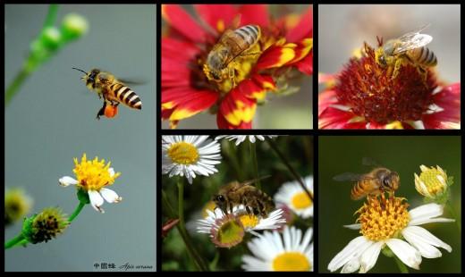 Eastern Honey Bee (Apis cerana)
