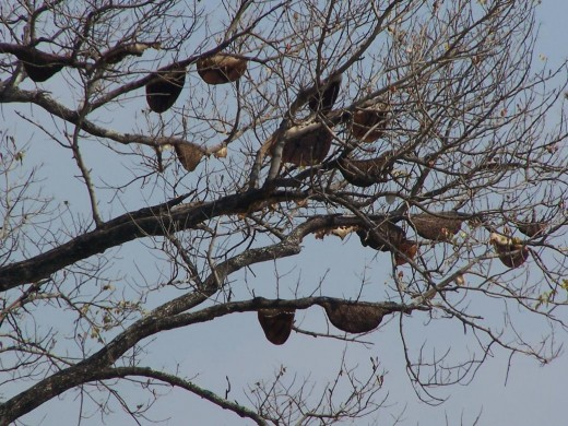 """Congregated hives of Apis dorsata under the branches of a """"bee tree""""."""