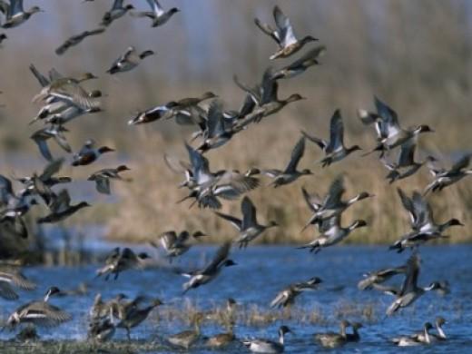 tidal marsh ducks