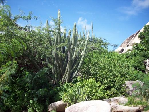 Cacti in Aruba